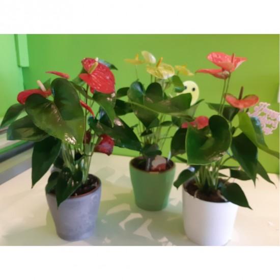 Plante Anthurium Choix du fleuriste
