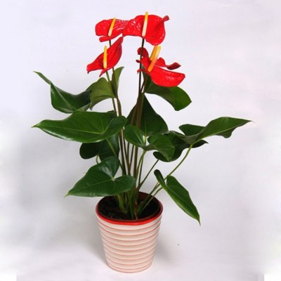 Plante Anthurium rouge