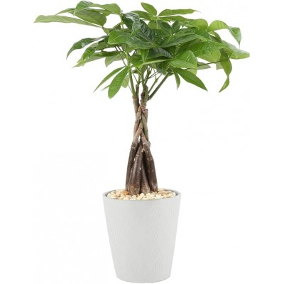 Plante Money Tree