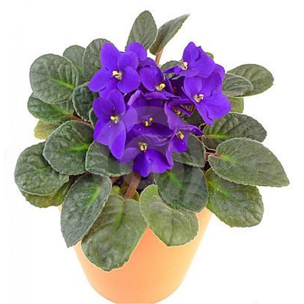 Violette africaine fleuriste la diva for Violette africane